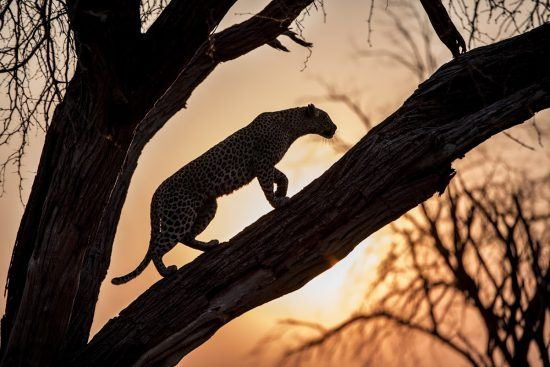 A leopard in a tree in Botswana with the sunset behind it.