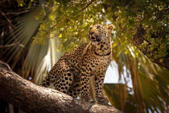 Leopard in Baum