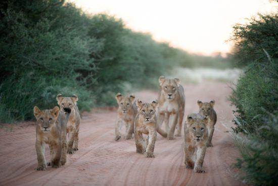 Lionceaux et leur mère sur les routes de la réserve d'Afrique du Sud