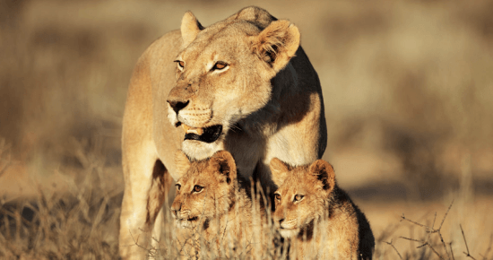 Leoa e filhotes na Central Kalahari, Botsuana - Rhino Africa