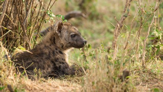 Spotted hyena cub lying down in shade
