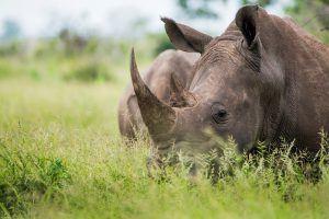 Nahaufnahme Nashorn im Gras