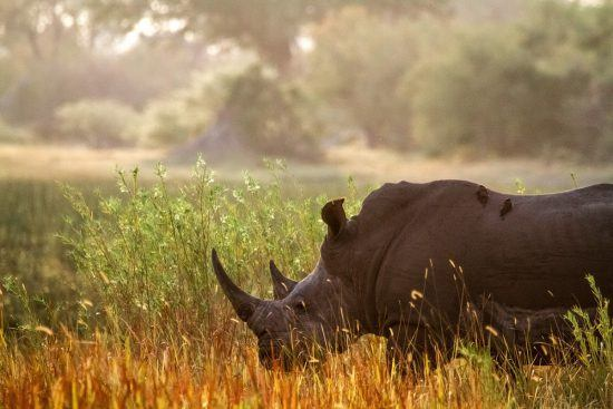 Rhino with birds on his back spotted on safari in Botswana