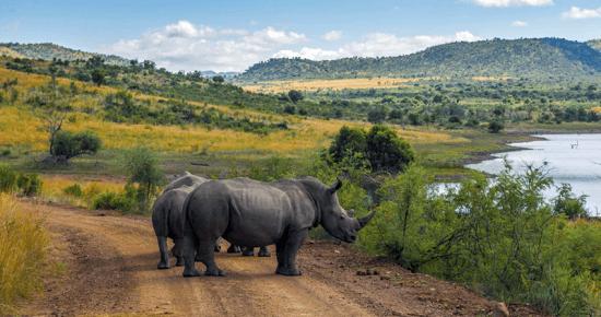 Rinocerontes na Reserva Pilanesberg, na África do Sul