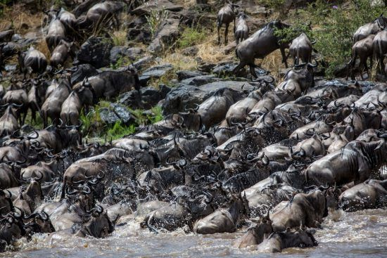 Herds of wildebeest close up emerging from Mara River