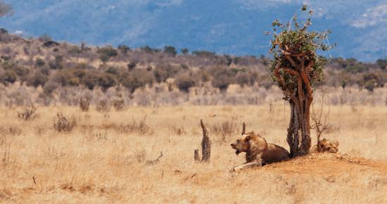 Os icônicos leões sem juba de Tsavo. Foto: Richard Rhee