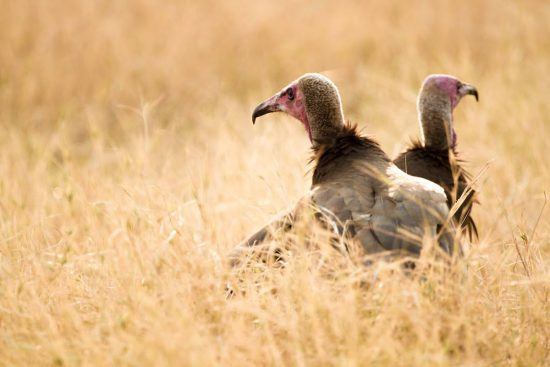 Two vultures in long grass, facing opposite directions