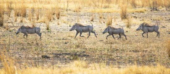 four warthogs with tails raised running through grass
