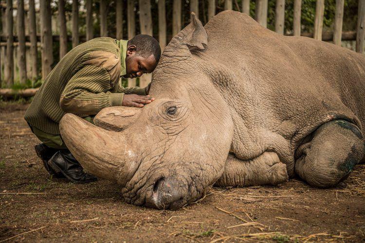 Les durs aurevoirs au dernier mâle rhinocéros blanc de cette planète.