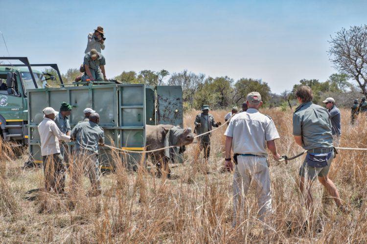 Opération de sauvetage d'un rhinocéros par l'association de Wildlife ACT, association anti-braconnage des rhinocéros
