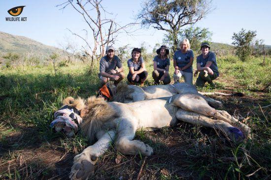 Operación de salvación de un león