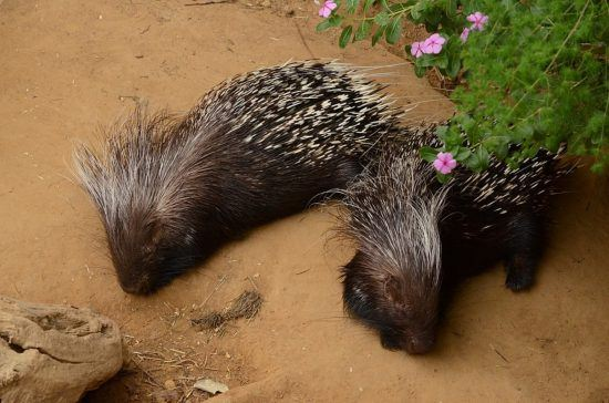 Two adult Cape Porcupines