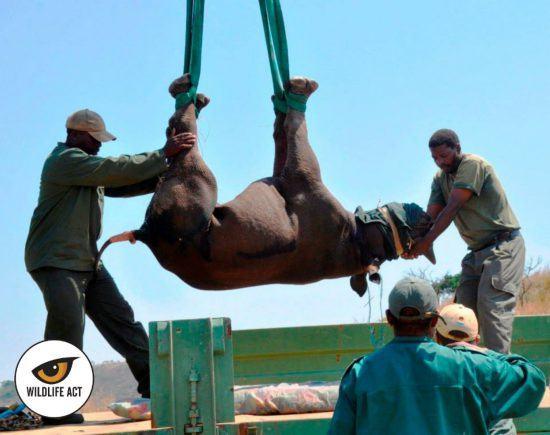 Opération de sauvetage d'un rhinocéros par l'association Wildlife ACT