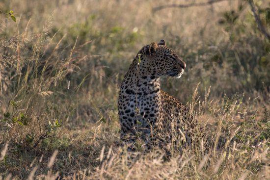 Chasse léopard dans la brousse au coucher de soleil, réserve de Sabi Sand.