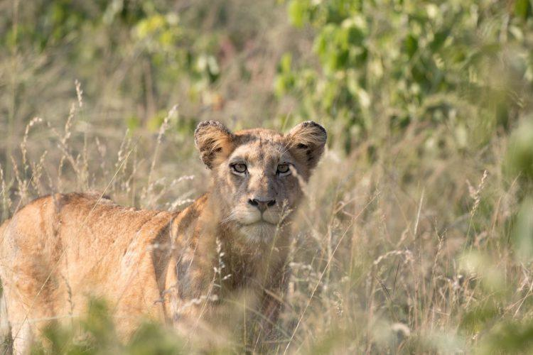 Un lionceau dans la savane en Afrique du Sud, réserve de Sabi Sand, chasse lion.