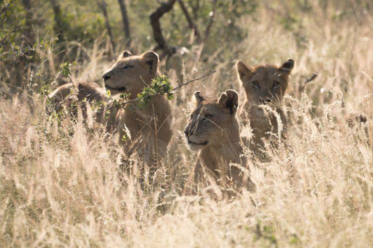 3 petits Lionceaux dans la savane, réserve de Sabi Sand, région du Kruger