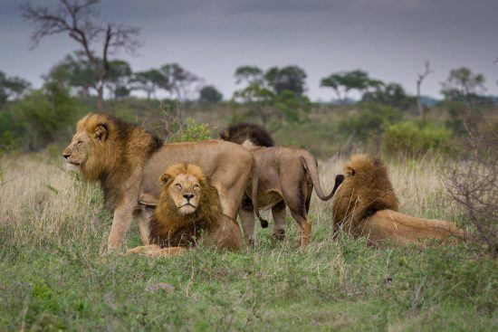 Leões descansam na Reserva Sabi Sand, uma das reservas privadas da África do Sul