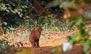 Chat doré africain dans la forêt vierge, dans le top des félins d'Afrique