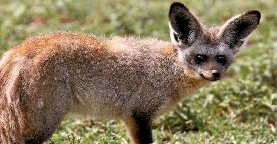 Solo bat-eared fox in Tanzania