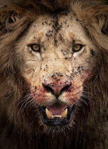 Nahaufnahme eines Löwen mit blutverschmiertem Gesicht