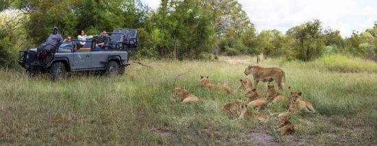 Ein Löwenrudel neben einem Safari-Fahrzeug im Sabi Sand Game Reserve