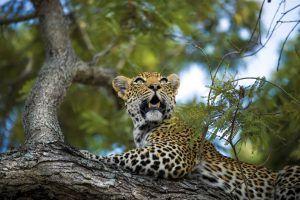 Léopard dans un arbre à Silvan