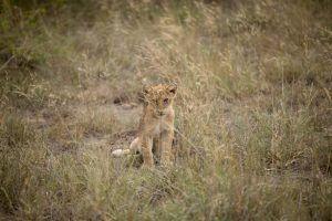 Lionceau dans les hautes herbes au Kruger