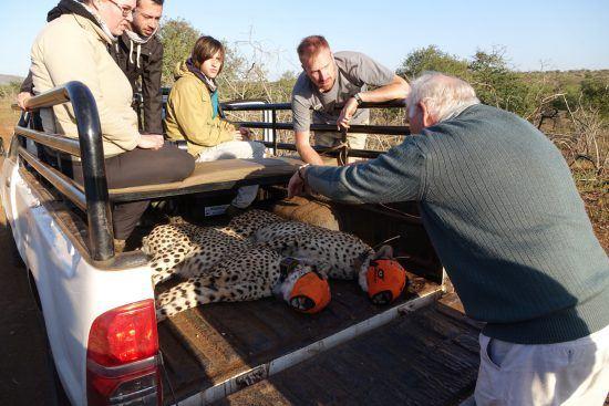 Guépards à l'arrière d'une voiture tout-terrain en partance pour les soins de Wildlife ACT