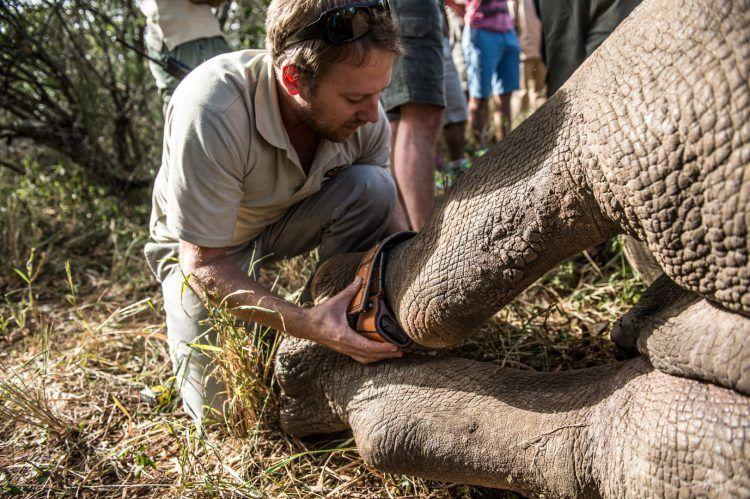 Bénévole de l'association Wildlife ACT installant un bracelet électronique à la cheville d'un rhinocéros