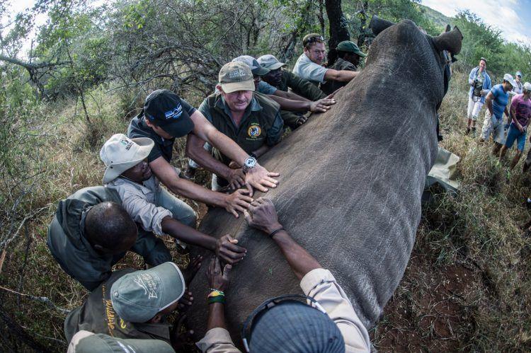 Travail d'équipe par les bénévoles de Wildlife ACT pour remettre un rhinocéros sur ses pieds après l'avoir transporté dans son nouvel habitat.