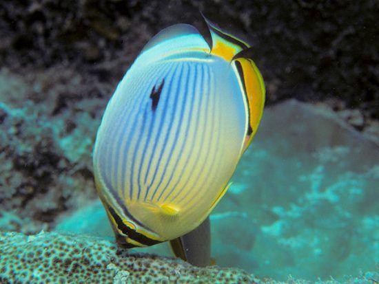 Ein gelblicher Indischer Rippen-Falterfisch sucht nach Nahrung auf dem Meeresboden