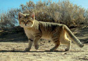 Chat des sables dans le désert, dans le top des félins d'Afrique