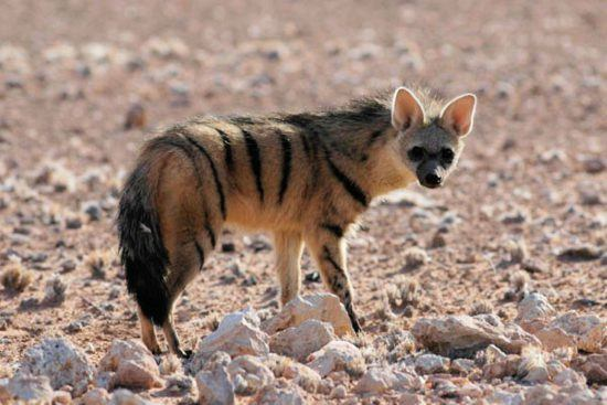 Sighting of an aardwolf during the day