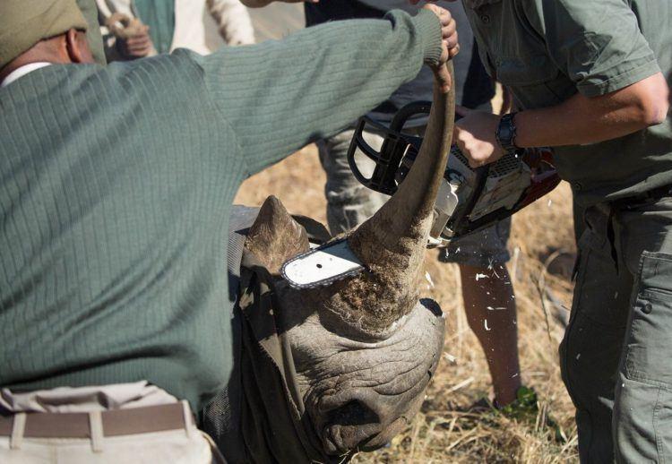Opération délicate mais nécessaire où l'on ote la corne des rhinocéros pour empêcher leur braconnage et que ce dernier se retrouve dans la même situation que le dernier mâle rhinocéros blanc du Nord