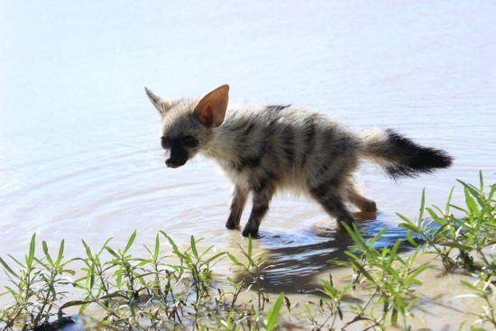 Baby aardwolf standing in water