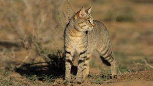 Chat sauvage africain dans la savane, dans le top des félins d'Afrique