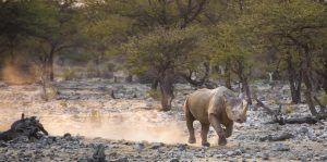 Los rinocerontes negros macho se alimentan al amanecer y al atardecer