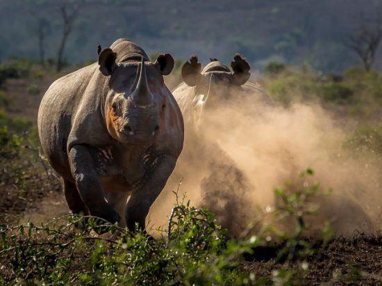 Zwei Spitzmaulnashörner rennen durch den Busch und wirbeln Sand auf - Save the Rhino Trust