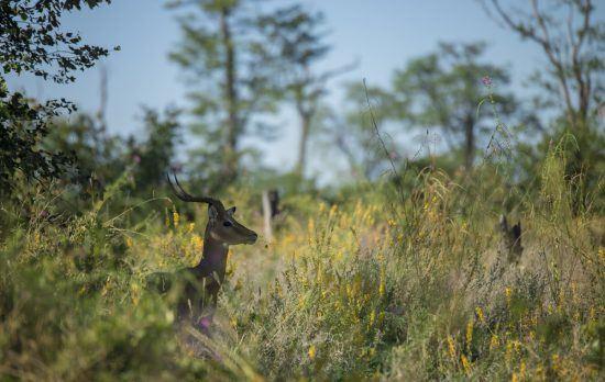 Um impala ergue a cabeça entre a grama alta