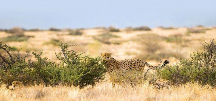 Guépard errant dans les plaines du Parc National Namib-Naukluft, Namibie.
