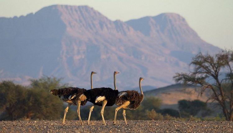Straußenvögel im kargen Damaraland