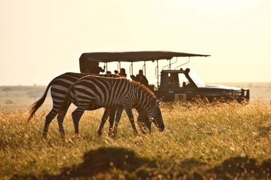 Zwei Zebrras in der Savanne, dahinter ein Pirschfahrzeug mit Personen in Kenia