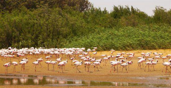 Flamingos vor grünen Büschen am Wasser bei niedrigem Wasserstand