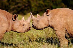 Los rinocerontes negros son solitarios y territoriales