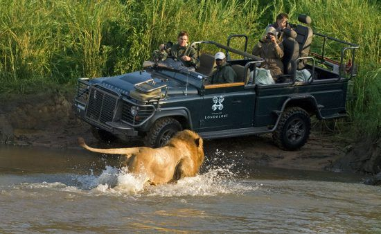 A lion charges at safari vehicle in Londolozi