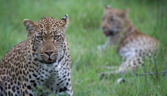 Los leopardos, unos de los reyes de Londolozi.