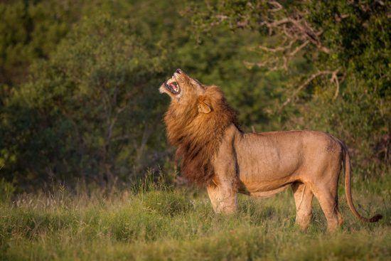 León mostrando su poderío