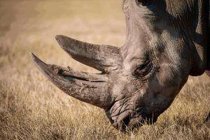 Los cuernos, una característica del rinoceronte negro