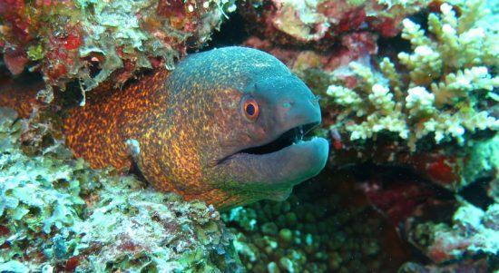 Eine Muräne guckt aus einem bunten Korallenriff hervor
