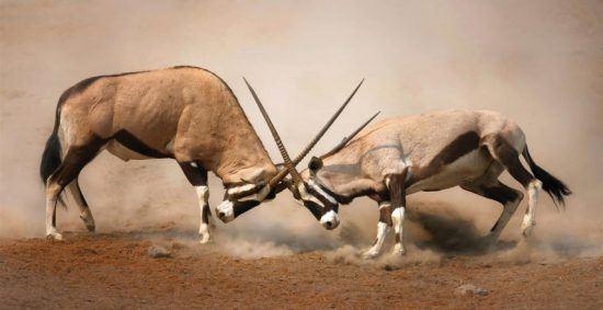 Zwei männliche Spießböcke kämpfen auf sandigem Boden